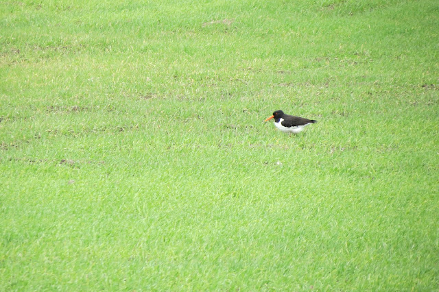 An oyster catcher standing in a field of short grass.