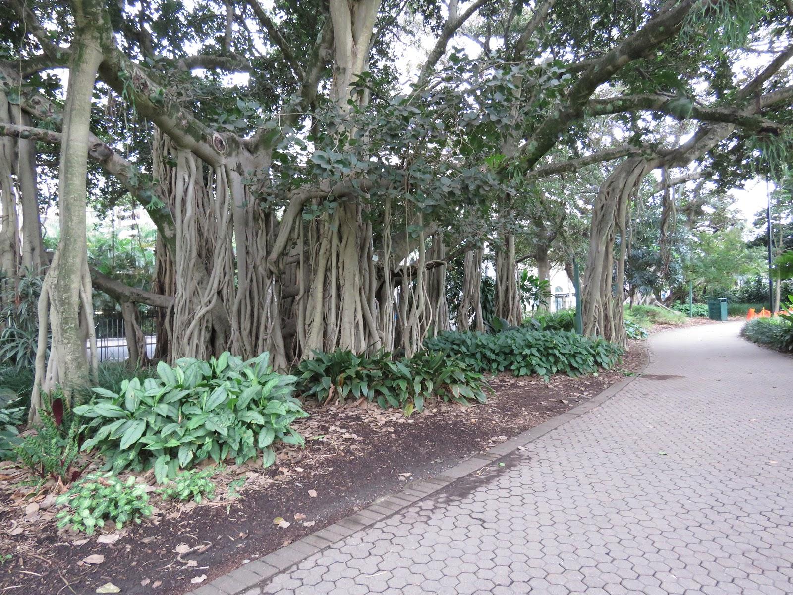 BANYAN FIG TREE, CITY BOTANIC GARDENS, BRISBANE, QUEENSLAND, AUSTRALIA