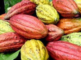NBCC Blames Poor Quality of Nigerian Cocoa on Exporters