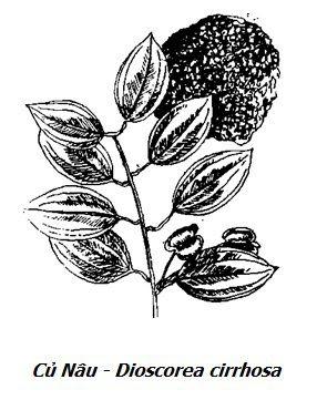 Hình vẽ Củ Nâu - Dioscorea cirrhosa - Nguyên liệu làm thuốc Chữa Đi Lỏng-Đau Bụng