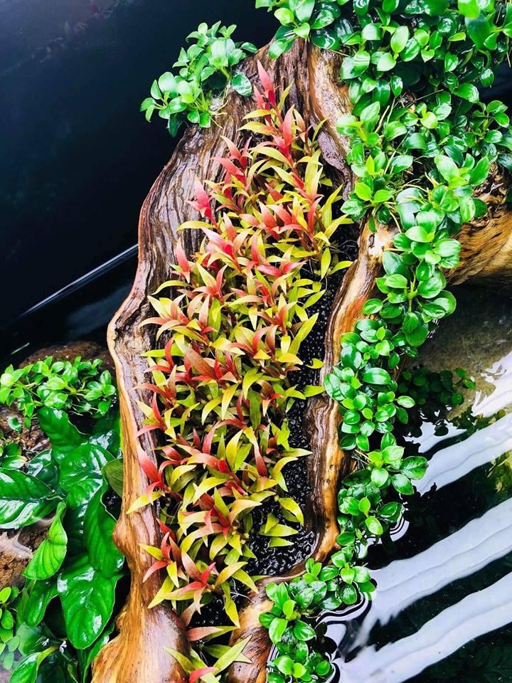 Vẻ đẹp quyến rũ của cây thủy sinh huyết tâm lan mini