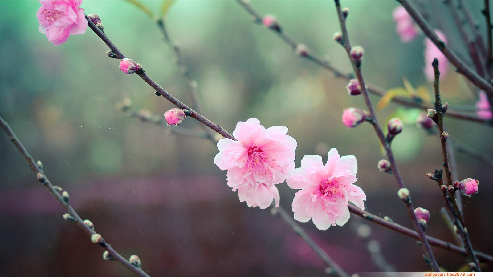 Wallpapers Wallpaper  20  Asian Cherry Blossom Flower Cherry Blossom Flower