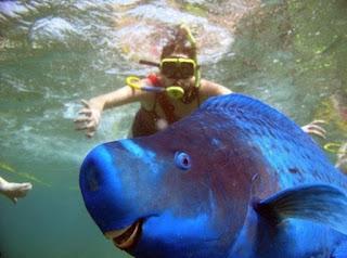 No verão, os peixes papagaio-azuis se reúnem em grupos de desova. A fertilização ocorre e as fêmeas depositam seus ovos em colunas de água e são soterrados no solo oceânico. Os ovos eclodem cerca de 25 horas depois.
