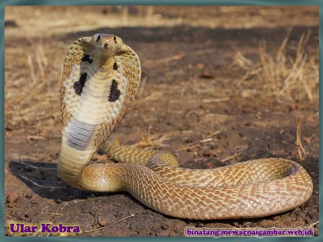 gambar binatang ular kobra