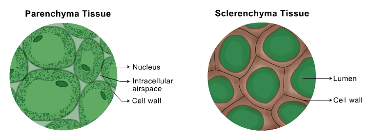 parenchyma tissues This lecture video deals primarily with the major types of plant tissues like connective tissues, meristematic tissues, parenchyma, permanent tissues, sclerenchyma, xylem, collenchyma etc cells.