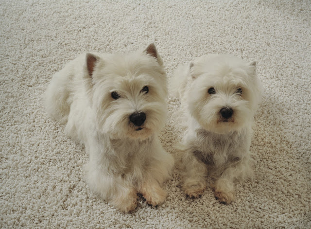 Two adorable dogs on a light colored carpet