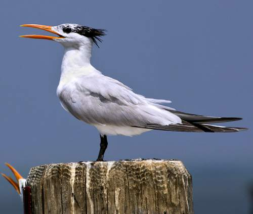 Great crested tern - Thalasseus bergii