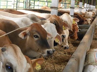 kiat sukses ternak sapi potong