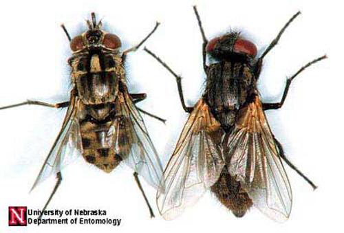vista dorsal de la mosca que transmite el tripanosomas en bovinos comparandolo con la mosca comun