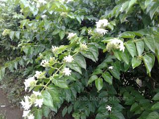 Bunga melati putih wanginya mempesona