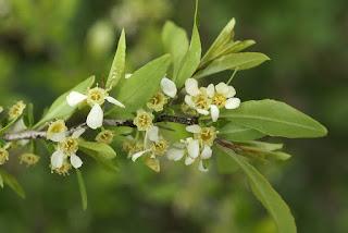 Prinsepia uniflora