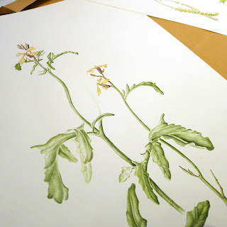 rocket painting, rocket salad, Giulia canevari, botanical art, botanical illustration, pharmacopoeia londinensis
