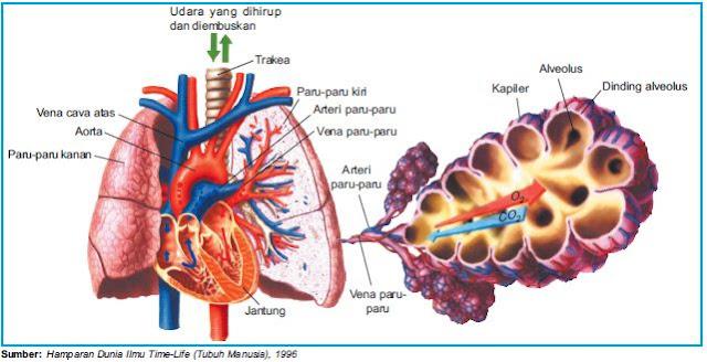 Organ-Organ pernapasan Manusia, (Hidung, Faring, Laring, Trakea, Bronkus, Bronkiolus, Alveolus, Paru Paru)