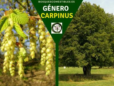 Lista de arboles en la Península del Género Carpinus