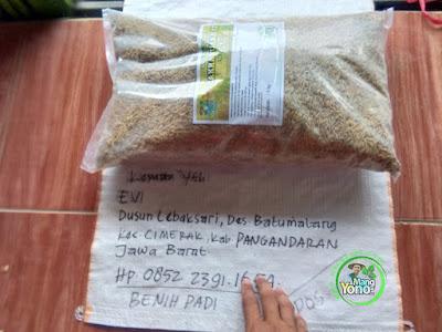 Benih Padi CAKRABUANA 02 (CB02) Sebelum di Packing  Pesanan EVI Pangandaran, Jabar.