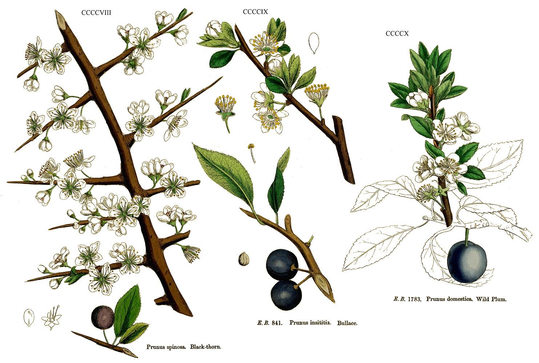 Ameixa (Prunus domestica)