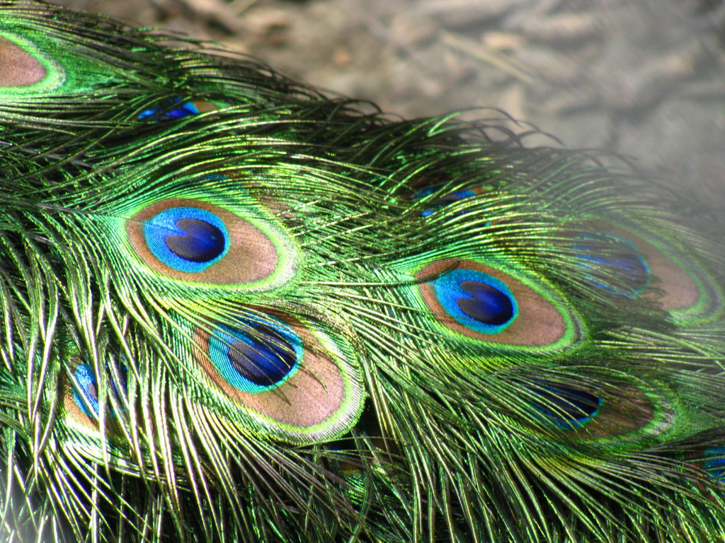 wallpapers: Peacock Feathers Wallpapers