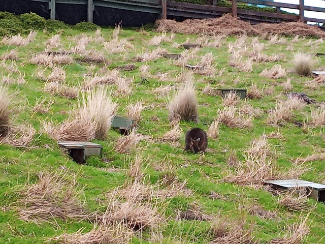 Penguin burrows and wallaby grazing