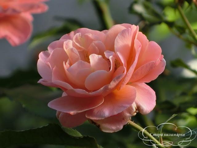 роза мари кюри, сорта роз, розарии, как посадить розы в сад, розы планы розариев