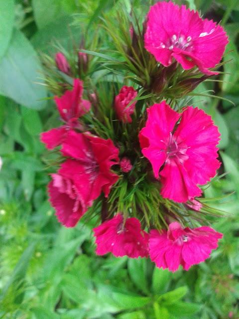 Kwiatki z mojego ogródka