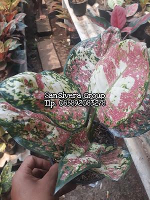 Jual Tanaman Hias aglonema Dud tricolor