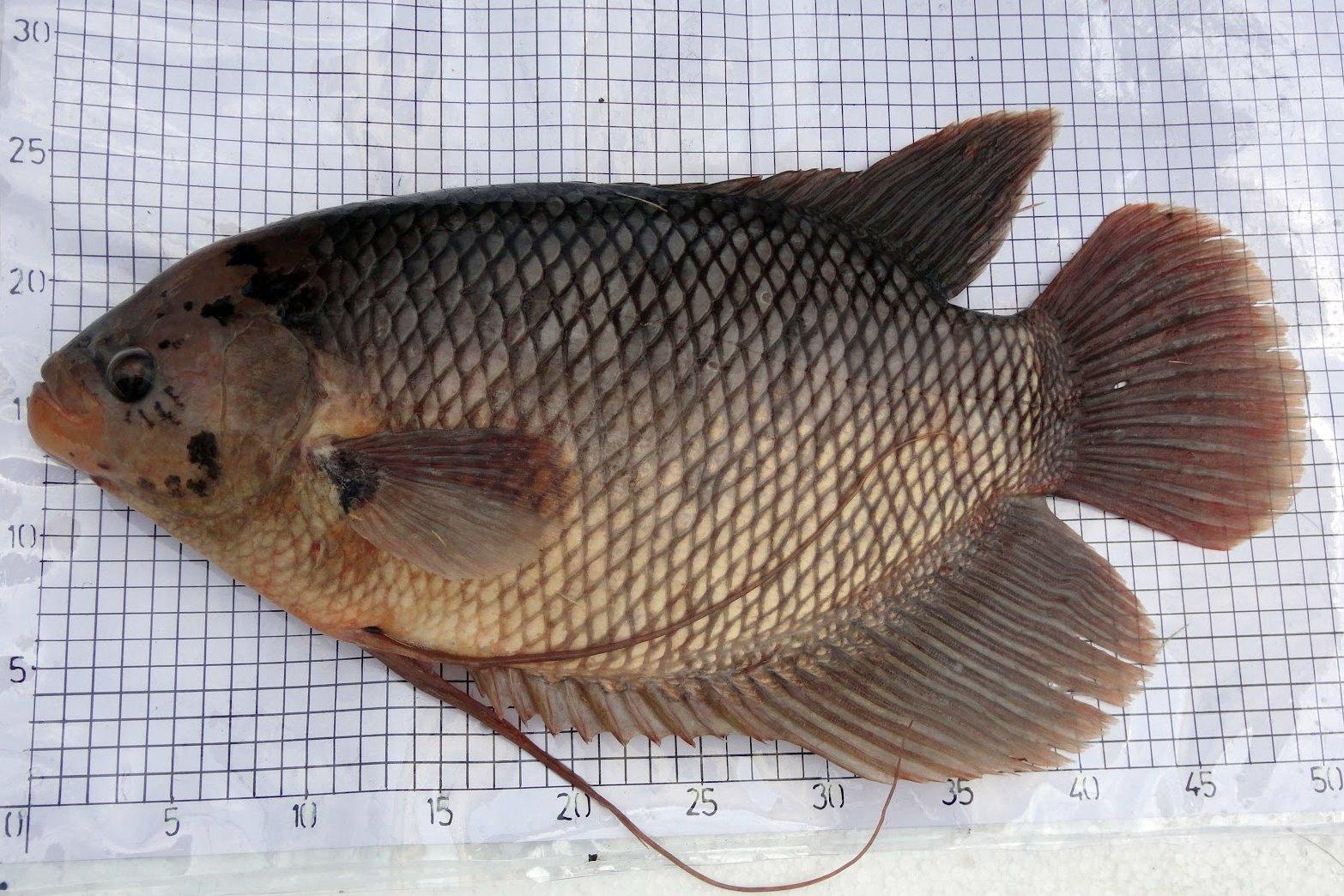Afiesh Sp Ikan Gurame Osphronemus Gouramy