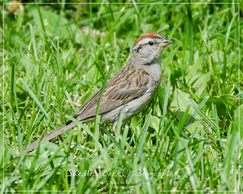 Adult Chipping Sparrow. Copyright © Shelley Banks, All Rights Reserved.