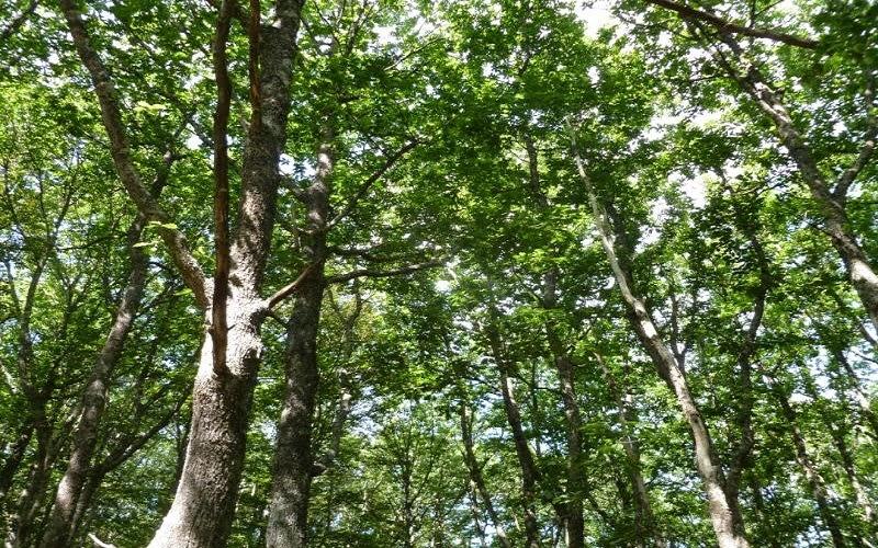Quercus robur, roble común, roble carvallo o roble fresnal, es un árbol robusto, de porte majestuoso, que puede superar los 40 metros de altura. Está clasificada en la Sección Quercus, que son los robles blancos de Europa, Asia y América del Norte.
