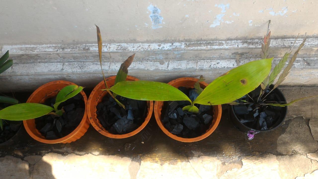 Anggrek Aridang godean.web.id