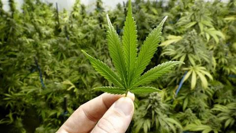 Kertészeti szakbolt pincéjében termesztett marihuánát egy budapesti férfi