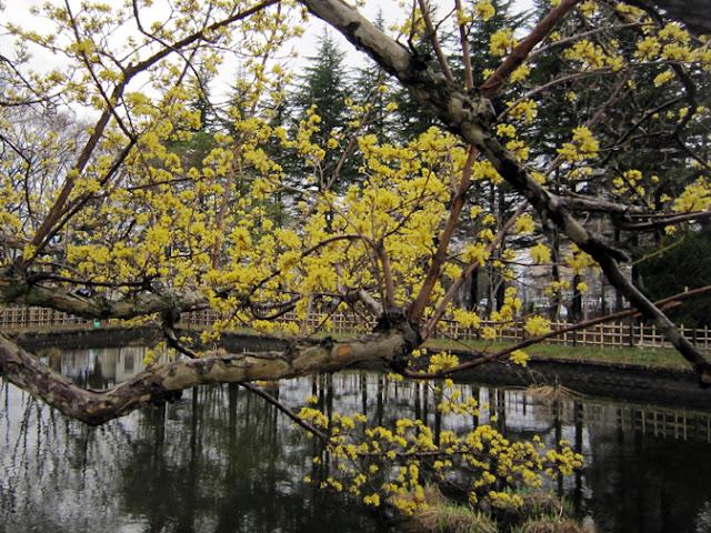 咲きそろったサンシュユの花