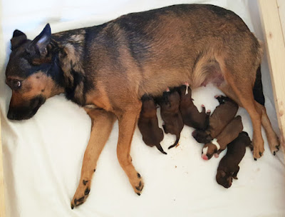 Austrian Pinscher dogbirth