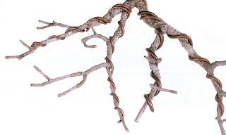 bonsai wiring technique