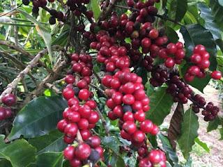 Café da agricultura familiar na Chapada