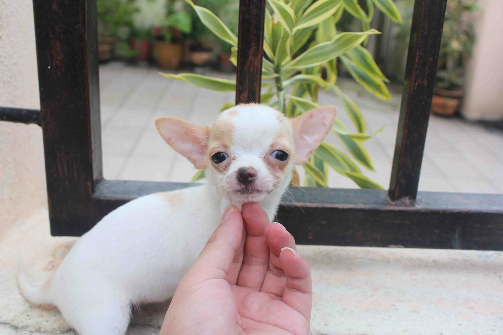 brown and white chihuahua lovelypuppy short coat brown white t cup chihuahua puppy 6497