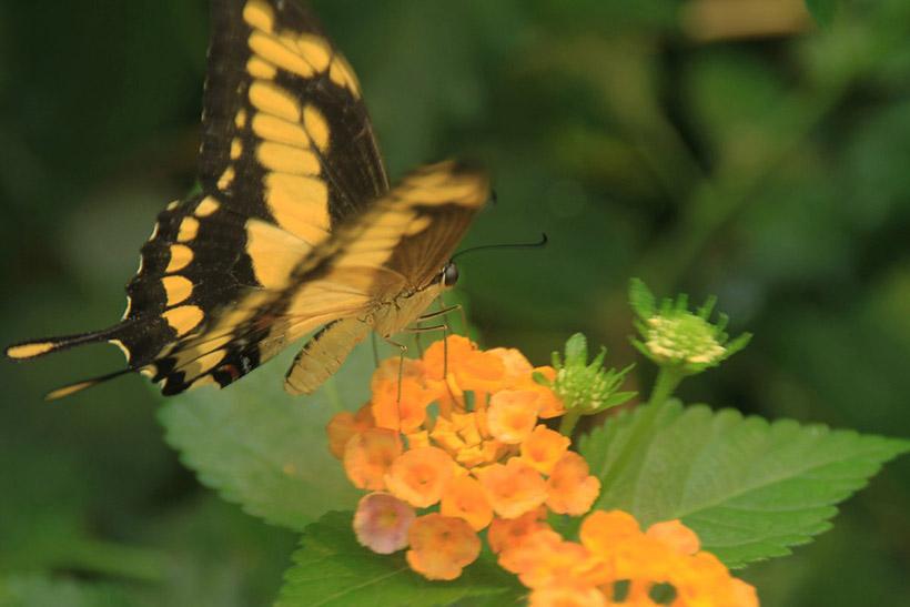 butterfly on a camara lantana