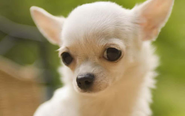 tiny dog breeds