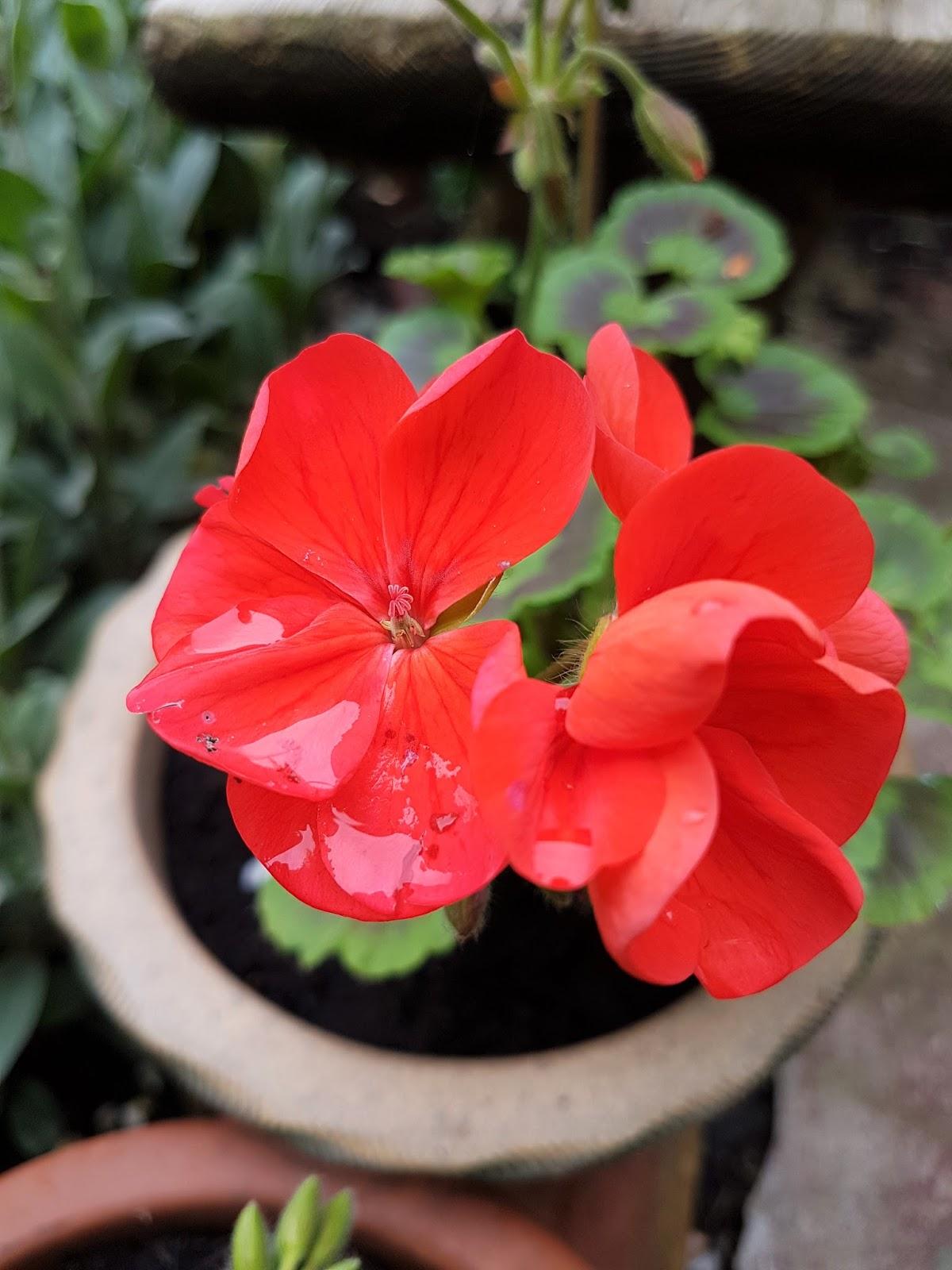 Geranium: useful properties