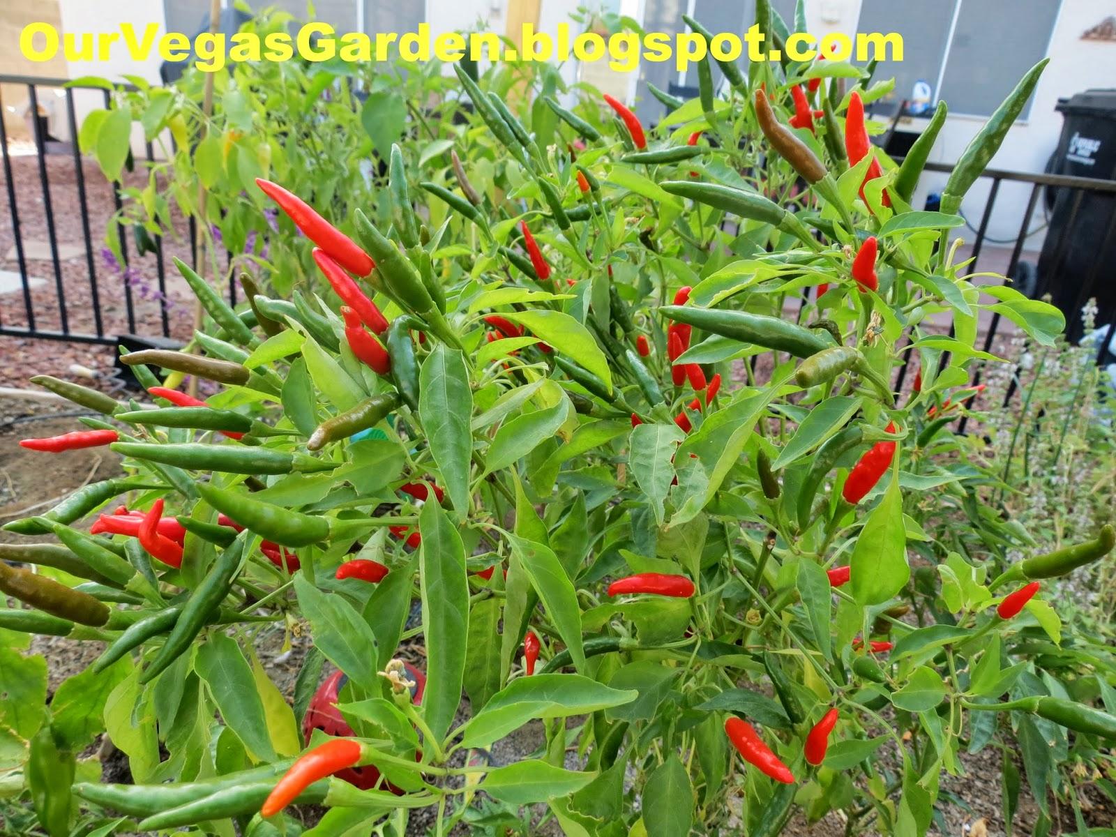 Desert Organic Farming Fall Mini Garden Update