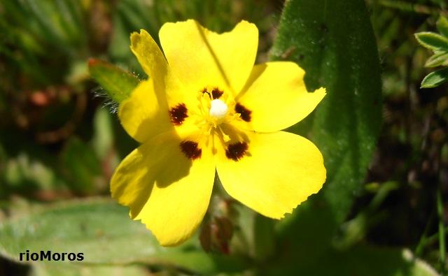 Flor de TuberariaTuberaria guttata