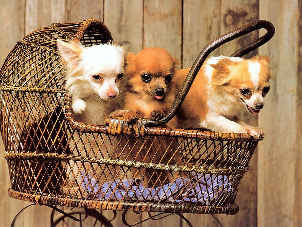 Cute Chihuahua Puppies Wallpaper The Dog In World Very Beautiful Wallpaper Puppy Dogs