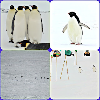 Adelle and emperor penguins on Ross Island, Antarctica