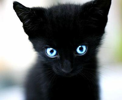 PLANET ANIMALS 2012: Black Cat