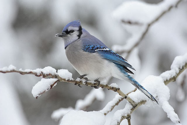Blue Jay winter