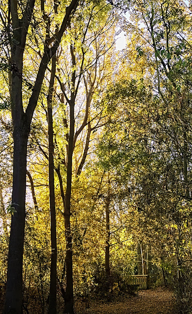 A stand of poplar trees shine yellow backlit by the morning sun