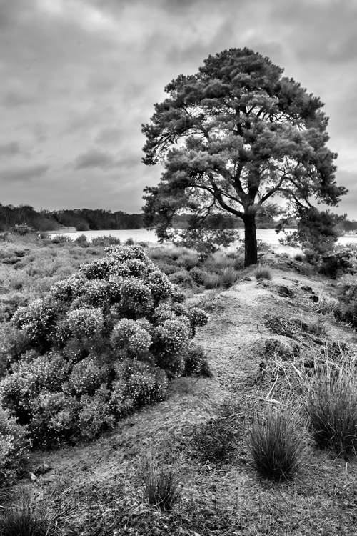 Black and white image of large tree in front of Little Sea at Studland