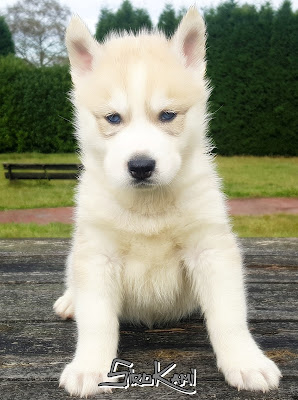 husky siberiano ojos azules