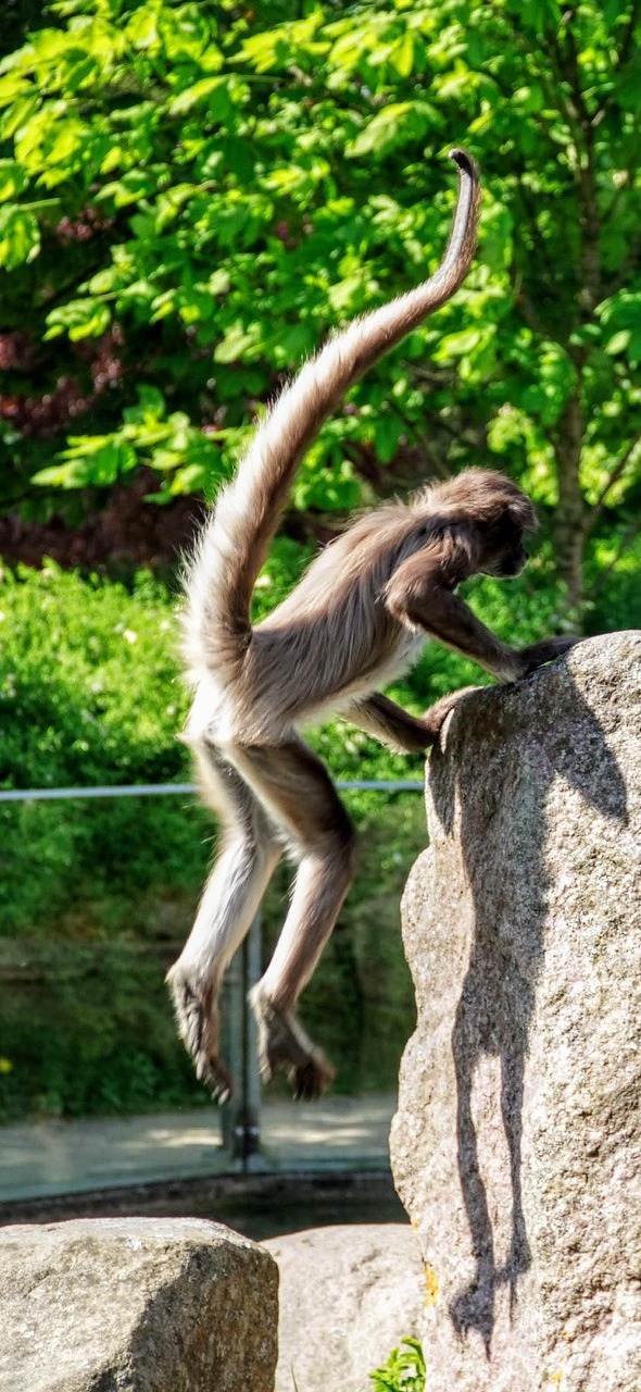 A monkey hopping on to a rock.