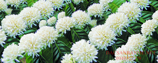 mật hoa cà phê