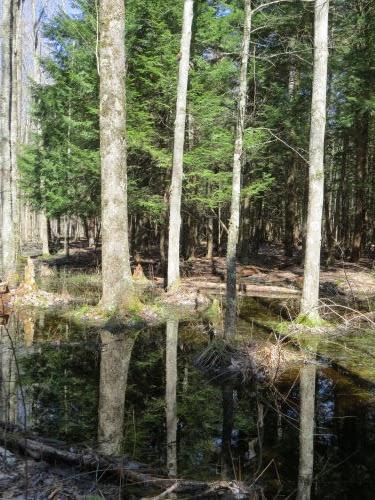reflection in hardwood swamp